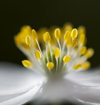 ]flower,anemone by Keartona on Flickr