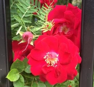 roses 6.22.17