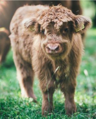 cow cute