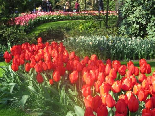 IMG_1966 tulips and
