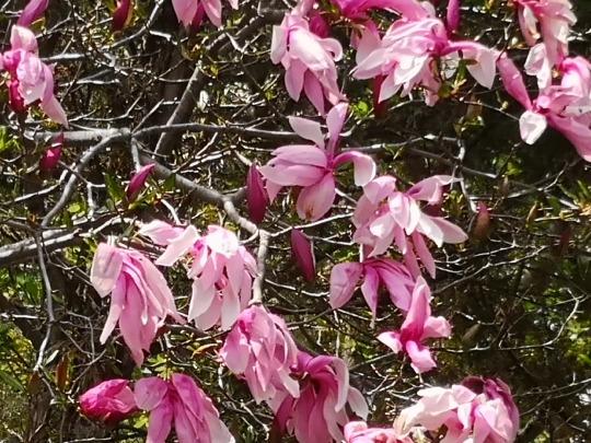 magnolia may 24