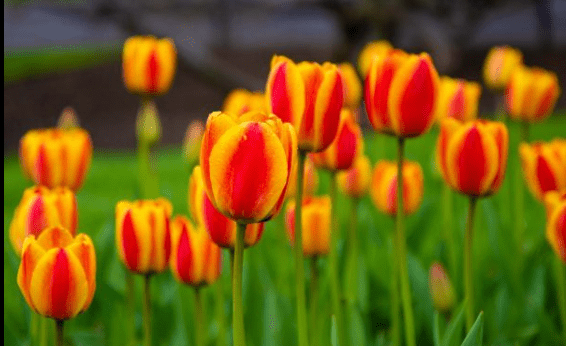 tulips by Chris