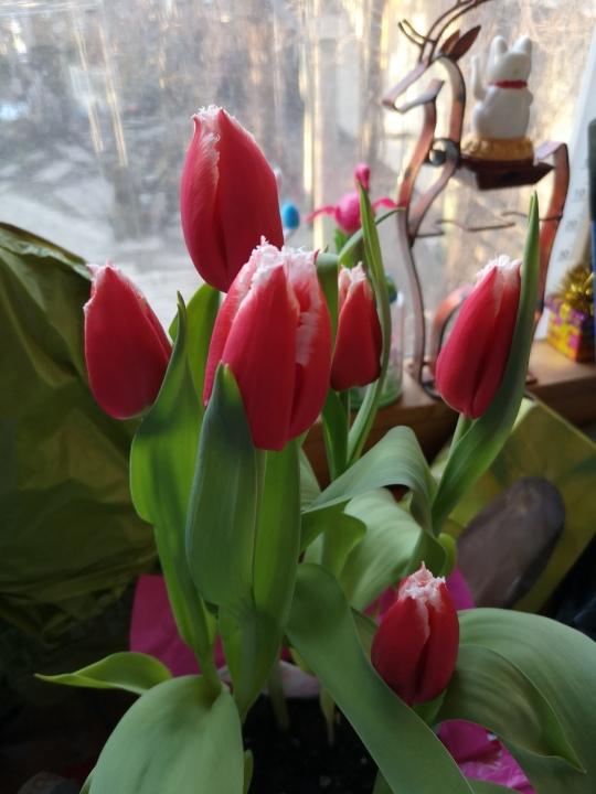 tulips T T